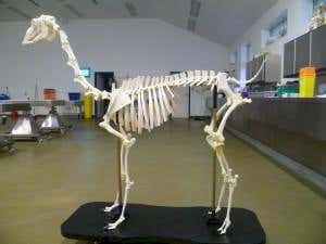 Animal Skeleton mounting